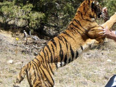 बाघको आक्रमणमा परी लालबहादुर चौधरीको मृत्यु