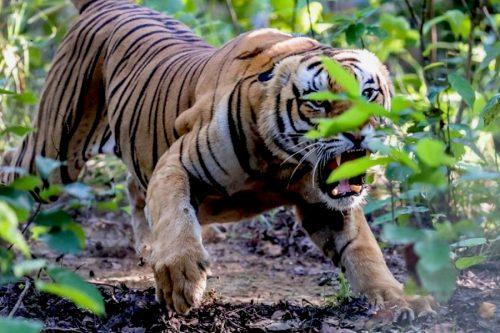 बाघको आक्रमणबाट जनकबहादुर थारुको मृत्यु